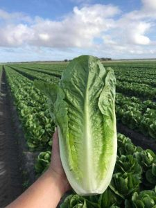 The success of PlantTape in Rothert's iceberg lettuce program has led them to experiment with other crops, such as romaine, pictured here